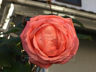 寒さのため花びらを固く閉じたピンク色のバラの写真・画像素材[1681337]