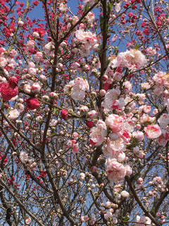 一本の木に咲く紅白の桃の花の写真・画像素材[1871531]