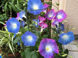 二色に咲く朝顔の写真・画像素材[2219826]