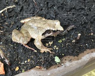 地面に座っているカエルの写真・画像素材[1486119]