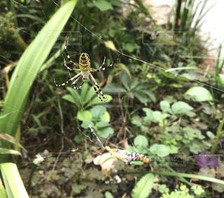 蜘蛛🕷の写真・画像素材[1570451]