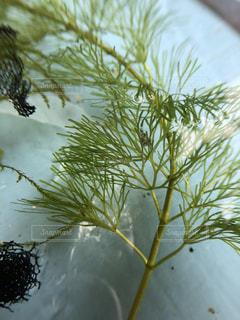 水草とメダカの卵の写真・画像素材[1478107]
