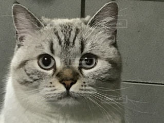 カメラを見ている猫の写真・画像素材[1775746]