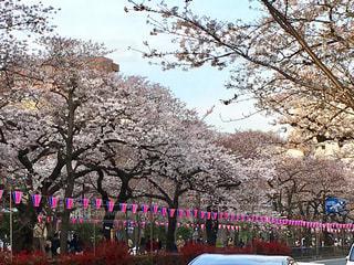 文京区の桜祭りの写真・画像素材[1476169]