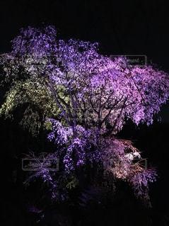 六義園のライトアップされた枝垂れ桜の写真・画像素材[1499152]