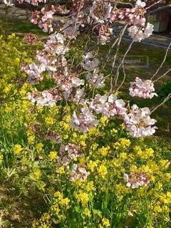 ソメイヨシノと菜の花の写真・画像素材[3474384]