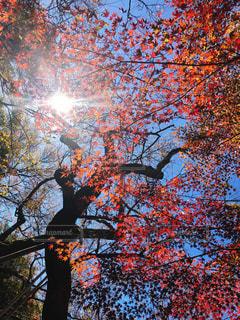 秋空と紅葉と太陽の写真・画像素材[1596700]
