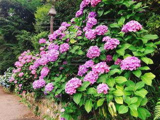 紫陽花の咲く道の写真・画像素材[2282828]