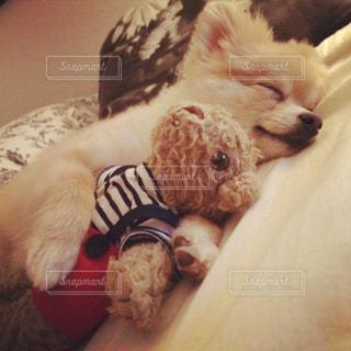 ぬいぐるみと一緒に寝る犬の写真・画像素材[1476132]