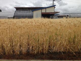 麦畑の写真・画像素材[1477220]