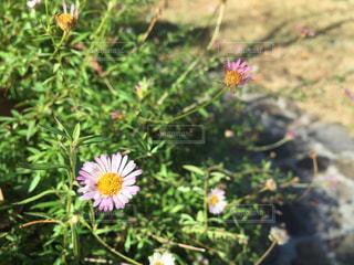 小さな花の写真・画像素材[1525787]