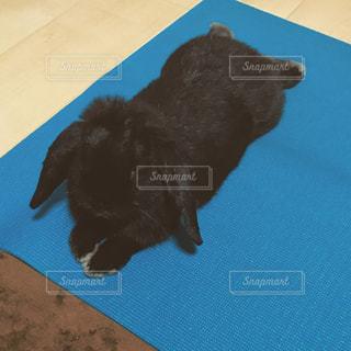 ヨガマットで伸びる黒いうさぎの写真・画像素材[1477810]