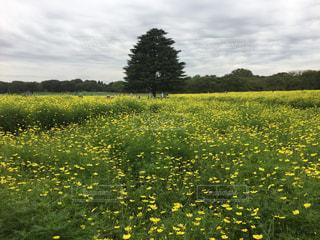 黄色のコスモスの花畑の写真・画像素材[1478102]