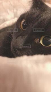 カメラを見ている猫のクローズアップの写真・画像素材[4209921]