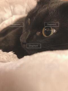 ベッドに横たわる猫のクローズアップの写真・画像素材[4209922]