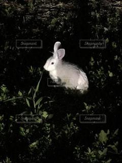 暗闇の野うさぎ①の写真・画像素材[1479122]