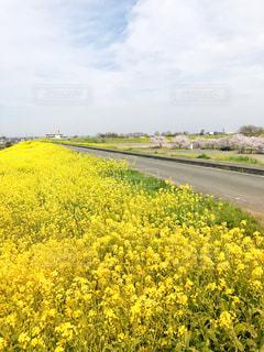 菜の花の写真・画像素材[1482584]