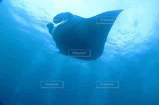 水面下を泳ぐマンタの写真・画像素材[1479027]