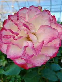 近くの花のアップの写真・画像素材[1602289]