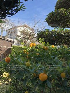 近くに果物の木のアップの写真・画像素材[1654715]
