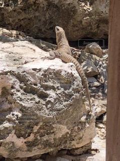 岩の上に座っているイグアナの写真・画像素材[1480715]