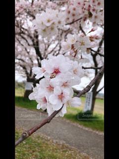 桜の花の写真・画像素材[3100506]