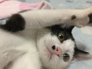 ベッドの上に横たわる黒白子猫の写真・画像素材[1486273]