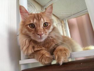 棚の上でくつろぎ茶トラ猫の写真・画像素材[1693324]