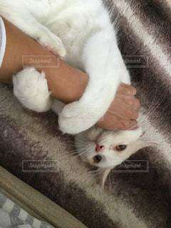 腕に巻き付く保護猫のスコティッシュフォールドの写真・画像素材[2435392]