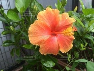 オレンジ色のハイビスカスの写真・画像素材[2639608]