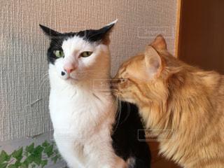 見つめる猫と大好きだよの猫の写真・画像素材[2992556]