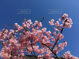 庭の河津桜が満開の写真・画像素材[3007411]
