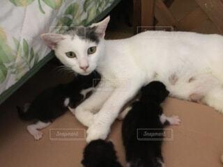 母猫が子猫におっぱいをあげている所の写真・画像素材[3645407]