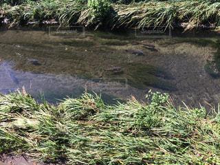 神田川泳ぐ鯉の写真・画像素材[1601635]
