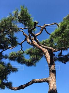 松の木の写真・画像素材[1606184]