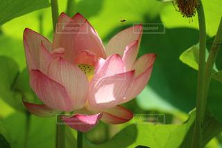 蓮の花とちっちゃな蜂の写真・画像素材[1506611]