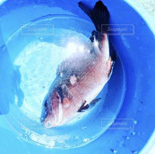 バケツの中の鯛の写真・画像素材[1489706]