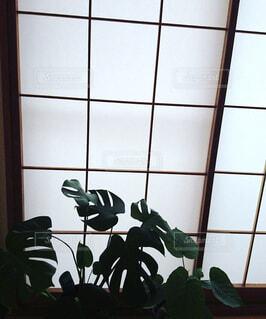 和室の障子の側のモンステラの写真・画像素材[1489922]