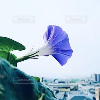 咲いた朝顔の写真・画像素材[1496877]