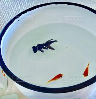 出目金と和金のどんぶり金魚の写真・画像素材[1499046]