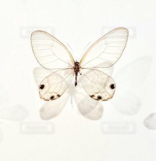 蝶の標本🦋の写真・画像素材[1500375]