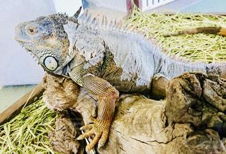 脱皮中のイグアナの写真・画像素材[1500672]