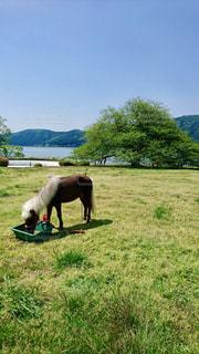 草原で餌を食べるポニー🐴の写真・画像素材[1500729]