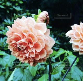 大輪のダリアの花🌸の写真・画像素材[1500929]