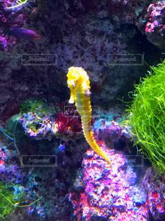 シンガポールの水族館の黄色いタツノオトシゴの写真・画像素材[1529445]