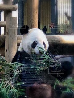 上野動物園のジャイアントパンダ🐼の写真・画像素材[1558971]