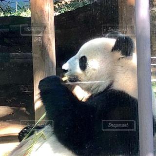 上野動物園の座っているパンダの写真・画像素材[1559604]