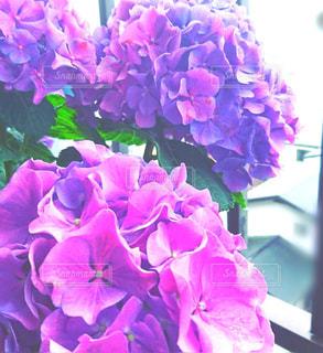 ベランダの紫陽花のアップ💜の写真・画像素材[1563428]