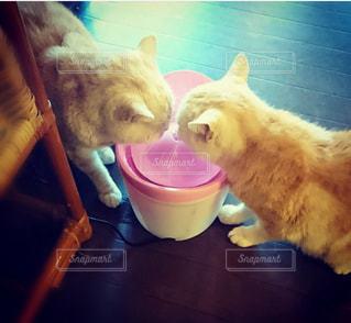 仲良く水を飲む2匹の猫🐱🐱の写真・画像素材[1563429]