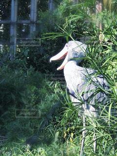 上野動物園のハシビロコウが口を開けたところの写真・画像素材[1578437]